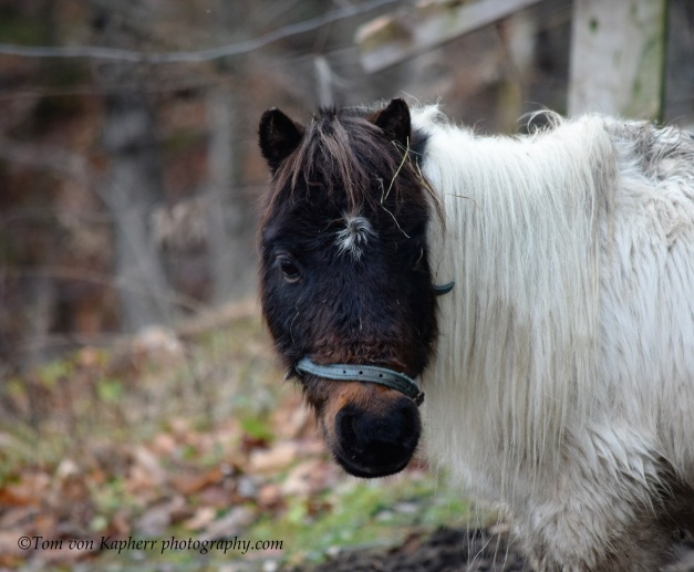 A Mini Horse- Tom von Kapherr photography.com