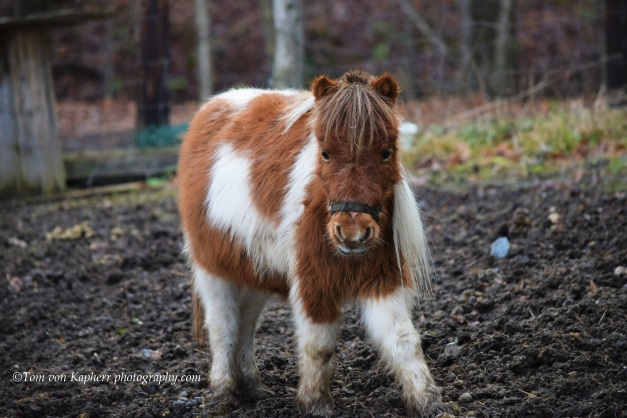 B Mini Horse- Tom von Kapherr photography.com