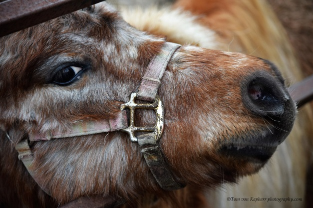 C Mini Horse- Tom von Kapherr photography.com