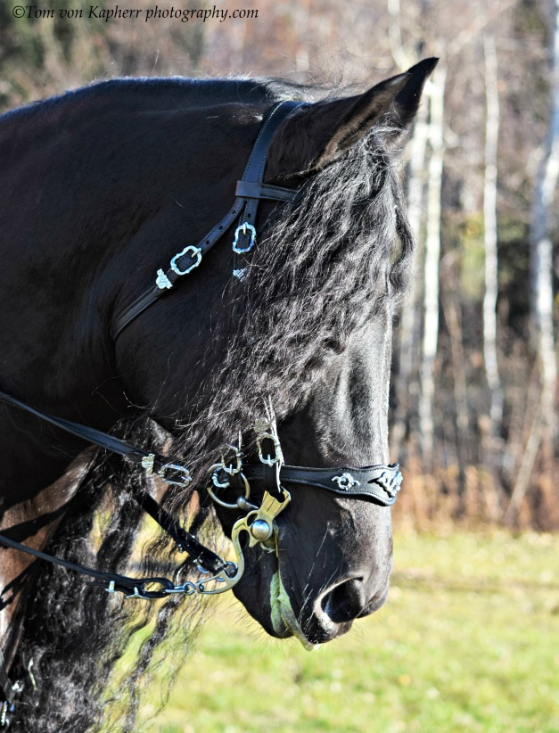 Frisian Horse by ©Tom von Kapherr photography.com