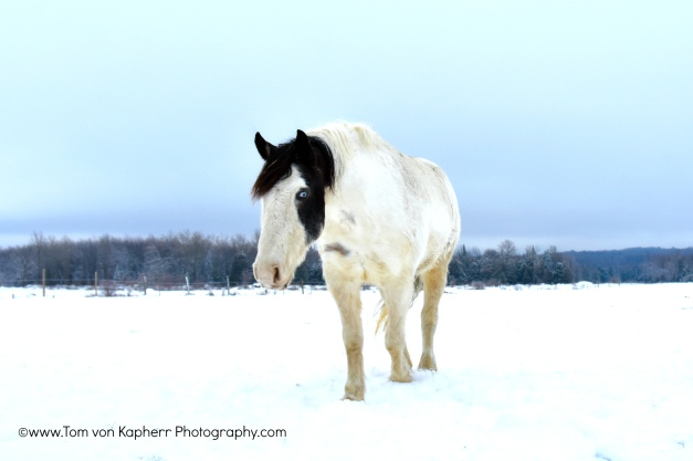 Quebec horses- Tom von Kapherr Photography