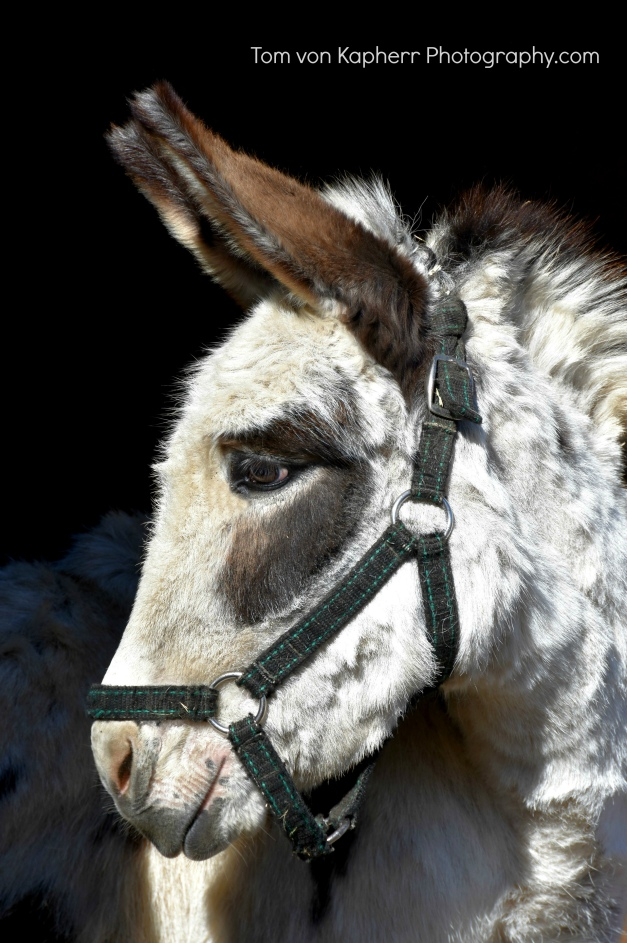 Donkey photo by Tom von Kapherr Photography
