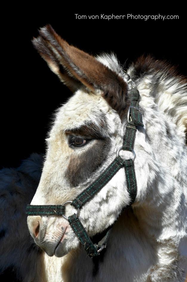 Donkey photo by Tom von Kapherr Photography
