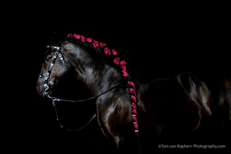 Canadain horse, Milady, byt Tom von Kapherr photography