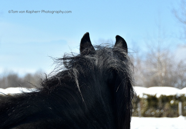Rocco, Canadian Horse, Tom von Kapherr Photography